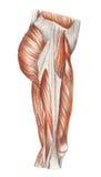 Pierna correcta - músculos stock de ilustración