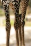 Piernas de la jirafa Foto de archivo