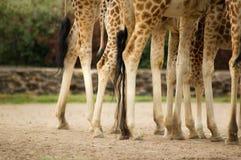 Piernas de las jirafas Imágenes de archivo libres de regalías