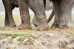 Piernas del elefante en el parque nacional de Chobe, Botswana imagenes de archivo
