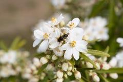 Piernas del polen del forraje de la abeja Foto de archivo libre de regalías