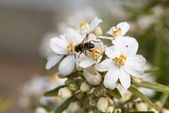 Piernas del polen del forraje de la abeja Fotos de archivo