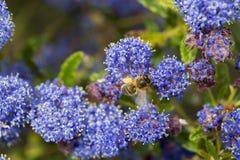 Piernas del polen del forraje de la abeja Fotografía de archivo libre de regalías