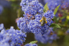 Piernas del polen del forraje de la abeja Imagen de archivo libre de regalías