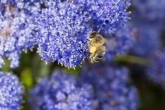 Piernas del polen del forraje de la abeja Imagenes de archivo