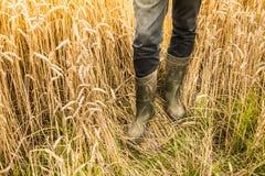 Piernas del ` s del granjero en las botas de goma en el campo de trigo - agricultura Imágenes de archivo libres de regalías