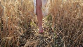 Piernas relajadas de la mujer que caminan en campo de trigo madurado metrajes