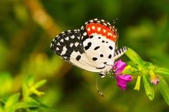 Pierott蝴蝶 库存照片