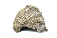 Pierre de corail fossilisée sur le fond d'isolement blanc photos libres de droits