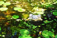 Pierre de grenouille observant de sous l'eau photographie stock