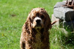 Pierre humide d'herbe de l'eau de chien Photo libre de droits