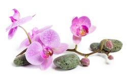 Pierres d'orchidée et de station thermale sur un fond blanc Belles fleurs roses sur une branche Images libres de droits