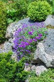 Pierres de jardin avec des fleurs Aubrieta royal Photos stock