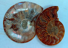 Pierres gemmes d'ammonite Images libres de droits