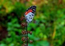 Pierrot Butterfly rosso immagini stock