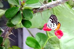 Pierrot Butterfly vermelho comum Fotos de Stock