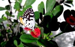 Pierrot Butterfly vermelho comum Foto de Stock Royalty Free
