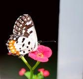 Pierrot Butterfly vermelho comum Fotografia de Stock