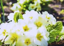 Pierwiosnek kwitnie w ogródzie Fotografia Stock