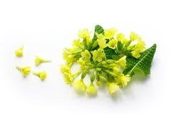Pierwiosnek, Primula veris odizolowywający Obrazy Royalty Free