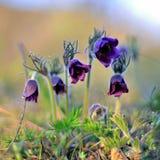 pierwiosnek Wiosna obudzenie natura Zdjęcie Royalty Free