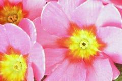Pierwiosnki które kwitnęli w pierwszy ciepłych dniach wiosna 051 Obrazy Royalty Free