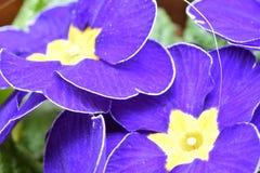 Pierwiosnki kwitną w pierwszy ciepłych dniach wiosna 027 Obraz Royalty Free