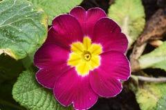 Pierwiosnki kwitną w pierwszy ciepłych dniach wiosna 030 Obrazy Stock