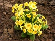 Pierwiosnkowi kolorów żółtych kwiaty - Primula vulgaris Obraz Royalty Free