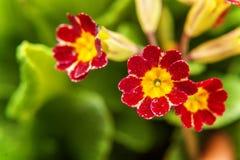 Pierwiosnkowy kwiatu zakończenie Obraz Royalty Free
