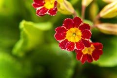 Pierwiosnkowy kwiatu zakończenie Zdjęcia Stock