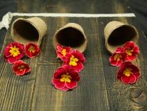 Pierwiosnkowy Primula Vulgaris, koloru żółtego i czerwieni ogródu kwiaty, puszkujący, kreatywnie skład na nieociosanym drewnianym zdjęcia royalty free