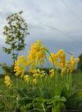 Pierwiosnku Primula Veris Zdjęcie Stock
