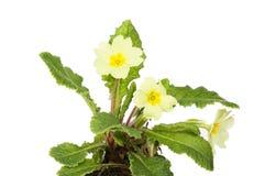 Pierwiosnku ulistnienie i kwiaty zdjęcia stock