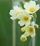pierwiosnku w tle żółty Zdjęcia Royalty Free