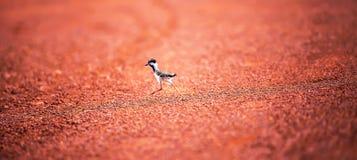 Pierwsi kroki ptak w dzikiego troszk?, portret rewolucjonistki czajki kurcz?tko bierze pierwszych kroki na czerwonym brudzie w obraz royalty free