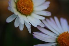 Pierwsze piętro kwiat Śródziemnomorska plama w półwysepa salentina z długimi ujawnieniami bezpośredni słońce zdjęcie royalty free