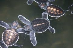 pierwszego dnia żółwi. Zdjęcie Stock