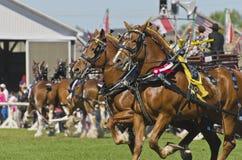 Pierwszej Nagrody Belgijscy Szkicu Konie przy Kraju Jarmarkiem Obraz Royalty Free