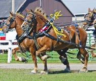 Pierwszej Nagrody Belgijscy Szkicu Konie przy Kraju Jarmarkiem Zdjęcia Stock