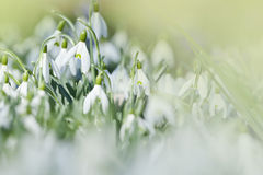 Pierwszy śnieżyczka kwiaty Zdjęcie Royalty Free