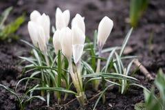 Pierwszy śnieżyczki wiosny białych kwiatów zbliżenia widok fotografia royalty free