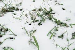 Pierwszy śnieg kłaść na zielonej trawie, gazon Obraz Royalty Free
