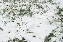 Pierwszy śnieg kłaść na zielonej trawie, gazon Fotografia Royalty Free
