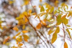 Pierwszy śnieg kłama na koloru żółtego i czerwieni liściach zdjęcia royalty free