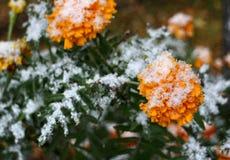 Pierwszy śnieg na żółtych kwiatach zdjęcia stock