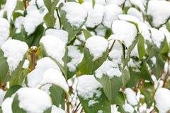 Pierwszy śnieg na liściach Fotografia Royalty Free