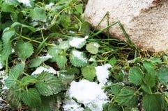 Pierwszy śnieg spadał na zielonej trawie - pokrzywy zdjęcie royalty free
