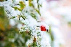 pierwszy śnieg Zieleń opuszcza, czerwone jagody dziki wzrastał Obraz Royalty Free