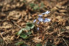 Pierwszy błękitna wiosna kwitnie w lasowych Pierwiosnkowych śnieżyczkach na liściach bukowa lasowa hepatica nobilis Poland wiosna Obrazy Stock